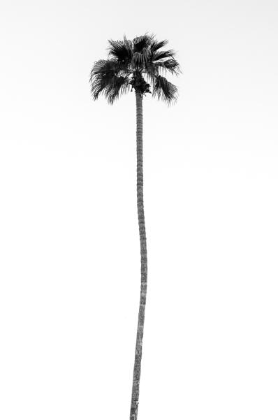Palm_bw_w-1